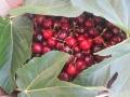 azienda agricola ciliegie con foglie 2