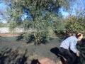 raccolta olive 1