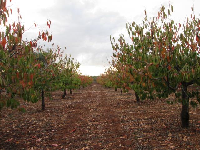 esterni filari di ciliegi in autunno