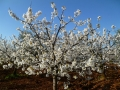 ciliegi in fiore