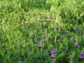 esterni i fiori di veccia